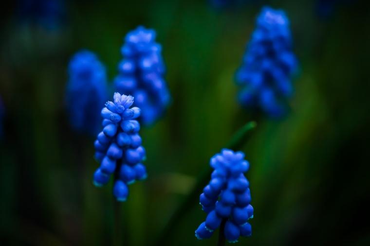 Kleine Traubenhyazinthe, Blume, Garten, lila, grün, dunkel
