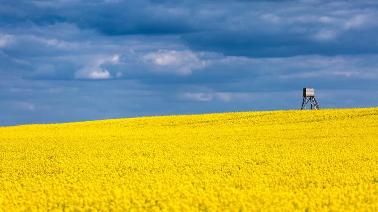 Rapsfeld, gelb, Himmel, bewölkt, Wolken, Hochsitz