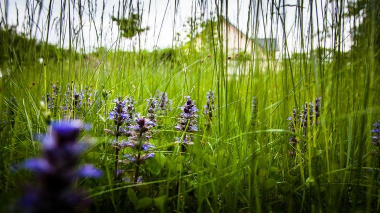 Gras, Wiese, Blume, Günsel