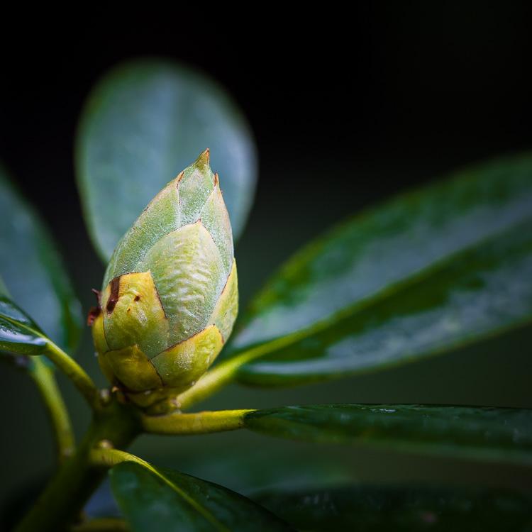 Rhododendron, Busch, Knospe, Garten, grün, nass