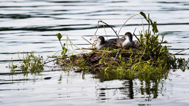 Blesshuhn, Küken, Nest, Wasser, See, Bodensee