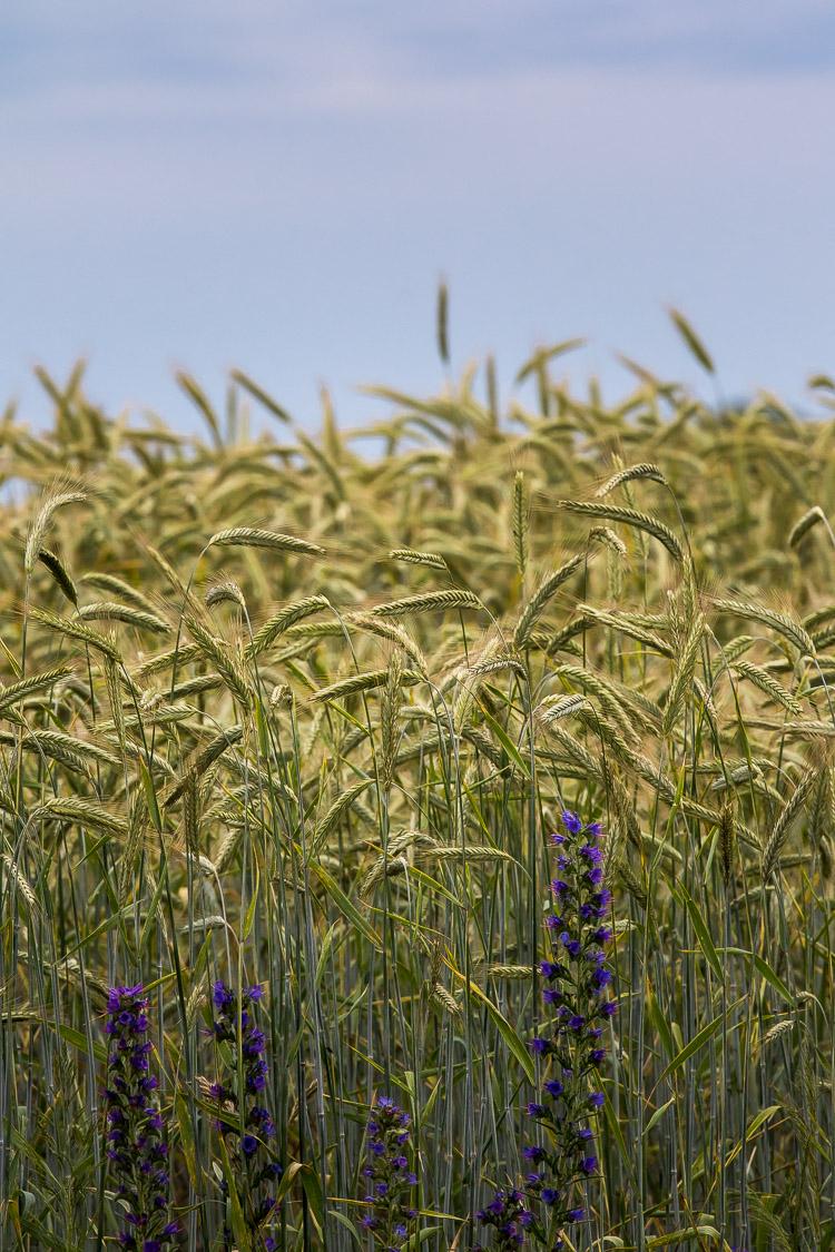 Getreide, Feld, Gerste, Roggen