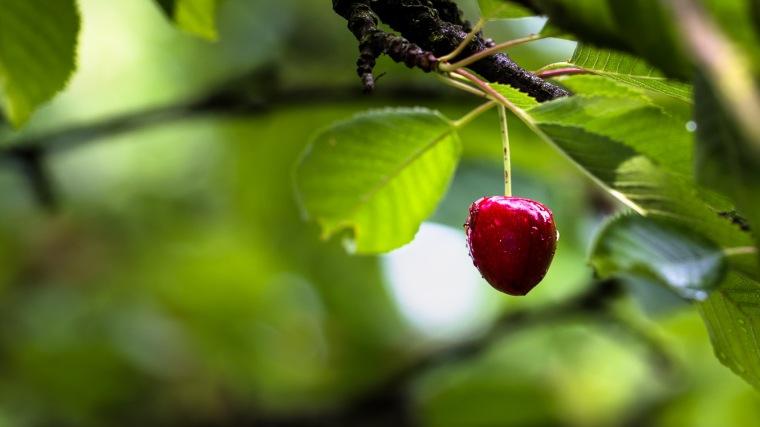 Kirsche, Frucht, Obst, Regen, Baum, Kirschbaum, Blätter