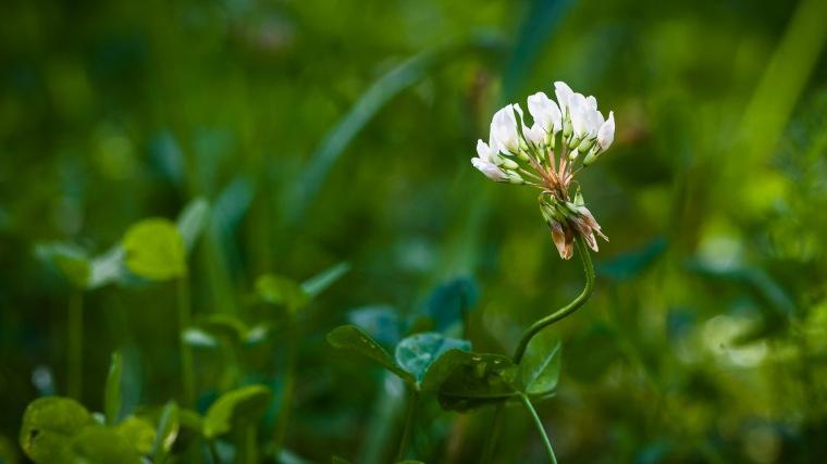 Wiesenblume, Rasen, Garten, grün, Abendsonne