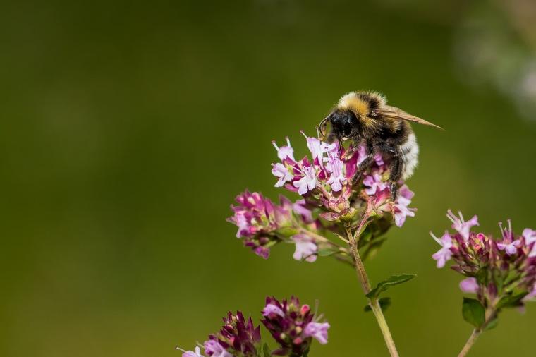Biene, Blume, Garten, Nektar, Bestäubung