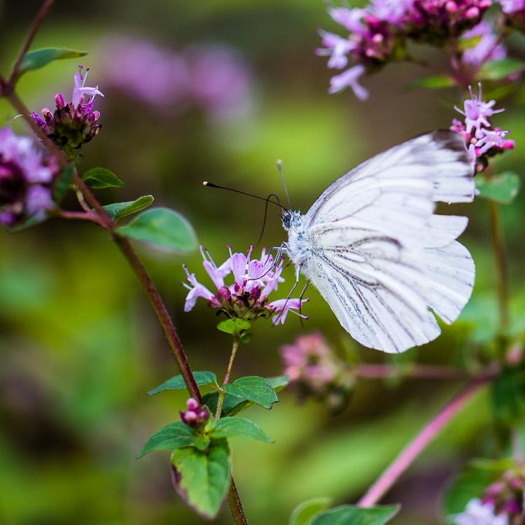Schmetterling, Tagfalter, Falter, Rapsweißling, Oregano, Blüte