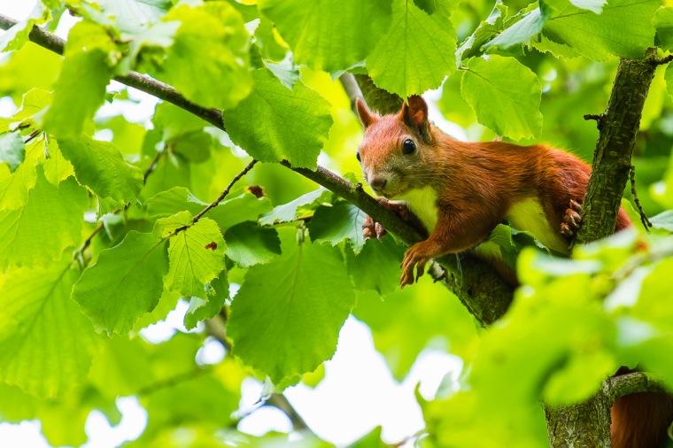 Eichhörnchen, Baum, Haselnuss,