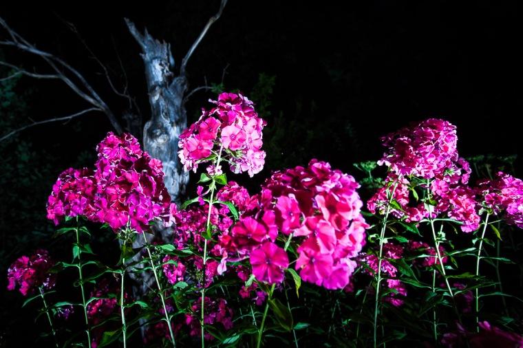 Blume, rosa, Garten, Nacht, Phlox, Baum