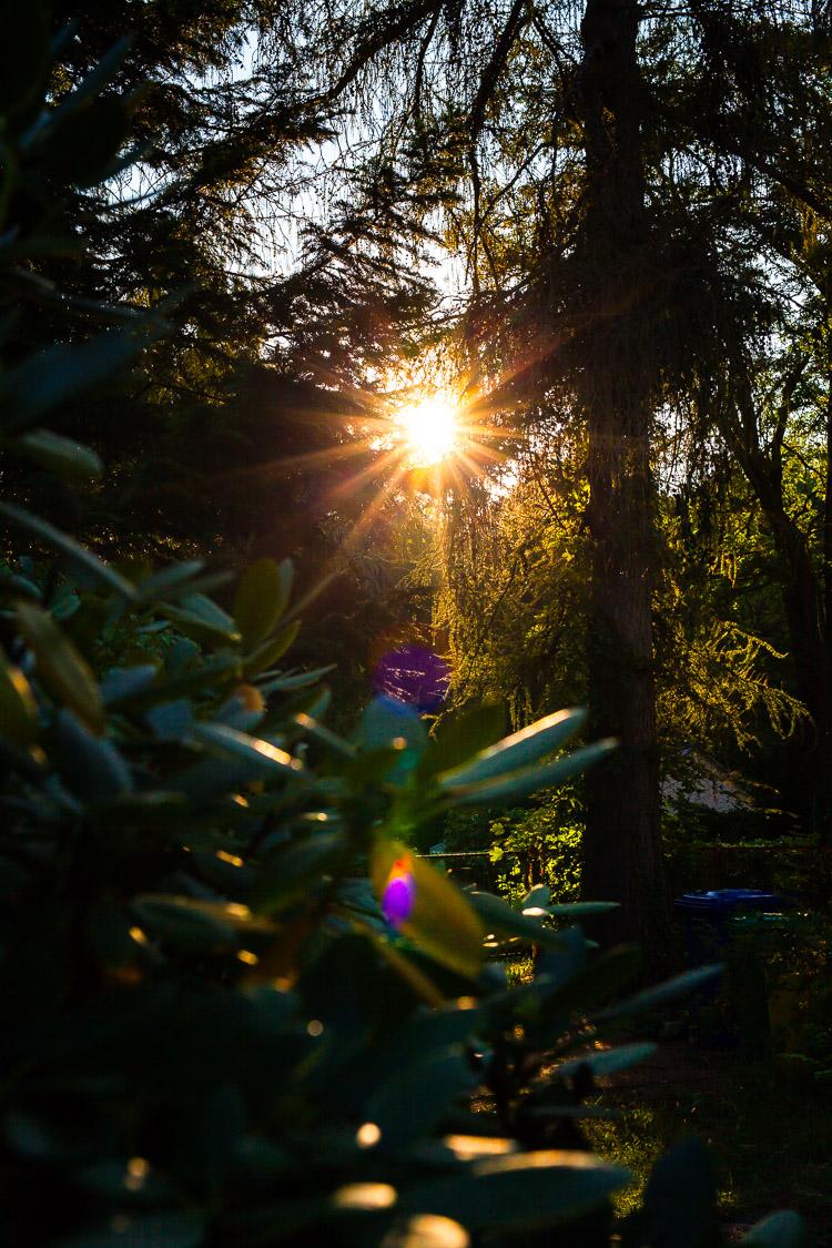 Sonnenuntergang, Sonne, Lärche, Fichte, Rhododendron, Garten, Abend
