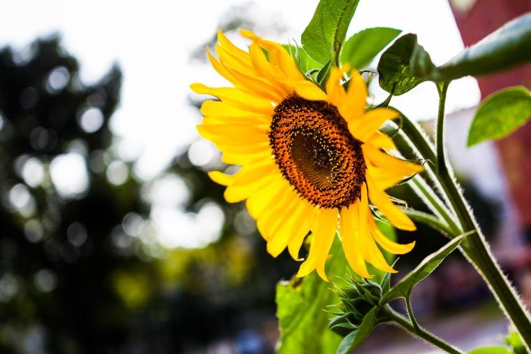 Sonnenblume, Gegenlicht, Sommer, gelb