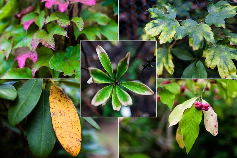 Herbst, Herbstlaub, Wilder Wein, Rhododendron, Seidelbast, Pfaffenhütchen, Feldahorn