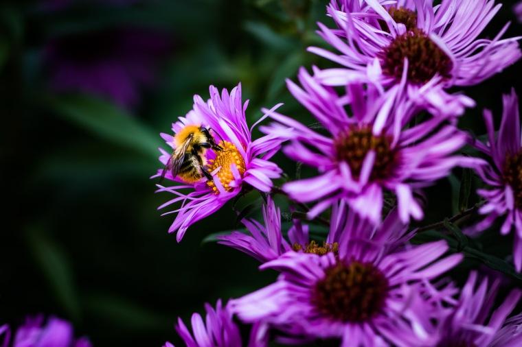Biene, Aster, Blüte, Garten