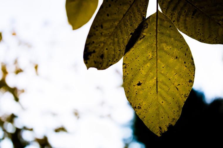 Nussbaum, Laub, Blatt, Herbstlaub