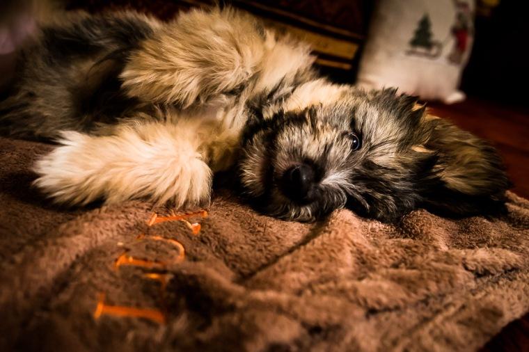 Schafpudel, Welpe, Hund, Sofa, Decke