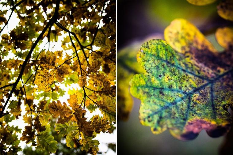 Eiche, Eichenlaub, Blatt, Blätter, Herbst, Herbstlaub
