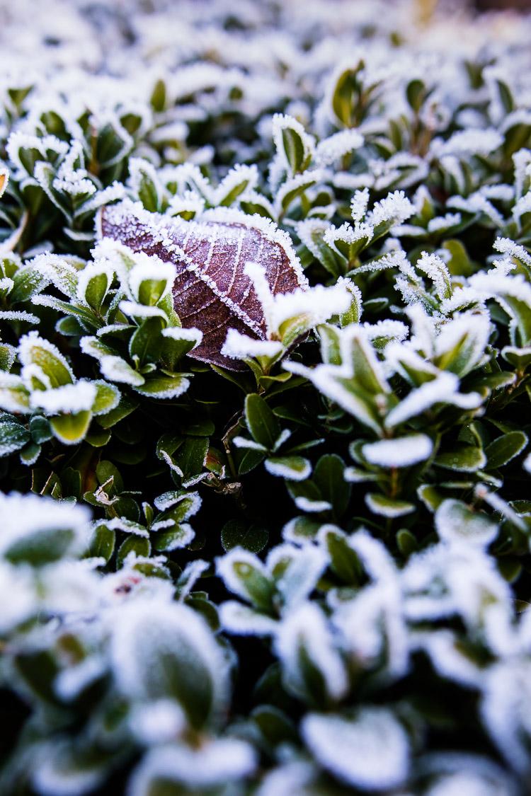 Buchsbaum, Laub, Birke, Herbst, Winter, Raureif
